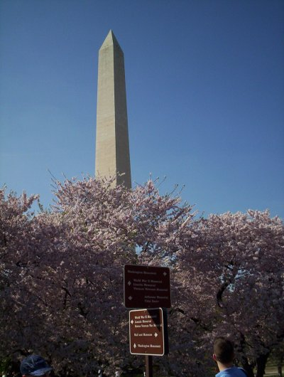 Cheery blossoms with Washington Monument