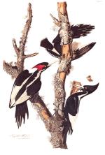 Ivory Billed Woodpecker, by Audubon